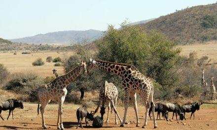 Safari en Afrique du Sud : 3 parcs à privilégier pour une expédition
